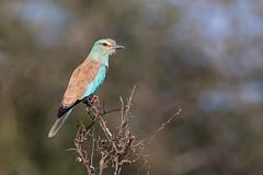 European Roller (Thomas Retterath) Tags: safari natur nature africa afrika kenya thomasretterath adventure wildlife abenteuer tsavowest coth5