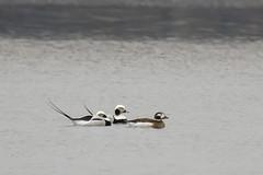 Long-tailed Ducks - Clangula hyemalis (Dave Boltz) Tags: birds virginia outdoors nature wildlife canon7dmarkii lakefrederick waterfowl clangulahyemalis duck longtailed frederickcounty longtailedduck