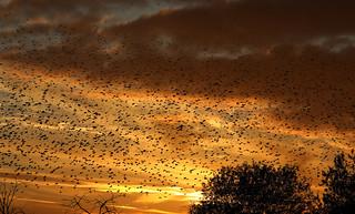 Starling Murmeration