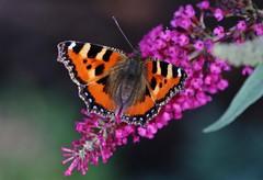 Butterfly (Hugo von Schreck) Tags: hugovonschreck butterfly schmetterling falter insect insekt macro makro fuchs canoneos5dsr tamron28300mmf3563divcpzda010