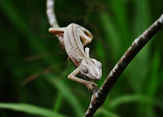 Lined Leaf tailed Gecko, Uroplatus lineatus,