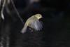 125.jpg (Kico Lopez) Tags: mosquiterocomún miño lugo aves galicia birds phylloscopuscollybita spain rio