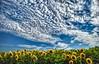 GIRASOLI (davidetavian72) Tags: girasoli hdr colore giallo azzurro natura cielo fiori nikon d3300 1855 polarizzatore