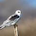 White-tailed Kite (juvenile)