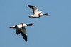 Bergeenden / Common shelducks (MarkBosNL) Tags: tadorna shelducks bergeenden eenden vogel vogelen bird birding animal nature natuur nederland netherlands wild wildlife sony tamron tamron150600g2 a77ii birdinflight