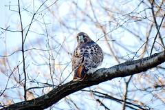 Intruder hawk in Pale Male's territory (jamescastle) Tags: raptor hawk redtailed buteojamaicensis centralpark park bird avian aves nyc manhattan wildlife
