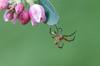 Spinne am seidenen Faden (dhmertens) Tags: canon spinne grün 70d ef100mm f28l blüte
