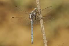 Orthetrum chrysostigma (Pipa Terrer) Tags: orthetrumchrysostigma cartagena odonata libélula libelluiladae dragonfly anisoptera insecta invertebrados