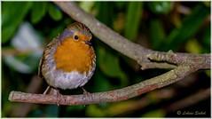 Almost Spring III (lukiassaikul) Tags: wildlifephotography wildanimals wildbirds gardenbirds urban wildlifesmall birdsrobineuropean robin perching trees branch