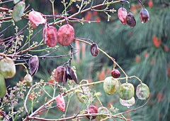 Jacaranda Pods! ('cosmicgirl1960' NEW CANON CAMERA) Tags: flowers worldflowers trees green marbella spain espana andalusia costadelsol parks gardens nature travel holidays yabbadabbadoo