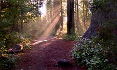 Let There Be Light (Jeffrey Neihart) Tags: jeffreyneihart redwoods california trees ladybirdjohnson grove sunbeam path drivethrutree ferns