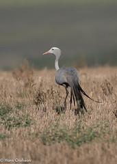 Blue Crane /Paradistrana (Grus paradisea) (Hans Olofsson) Tags: birds dehoop dehoopnr natur nature swellendam sydafrika grusparadisea paradistrana westerncape anthropoidesparadiseus