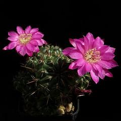 Sulcorebutia steinbachii KK805 '508' (Pequenos Electrodomésticos) Tags: cactus cacto flower flor sulcorebutia sulcorebutiasteinbachiikk805 sulcorebutiasteinbachii