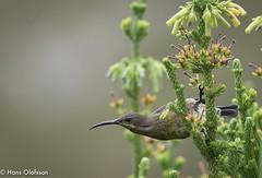 Malachite Sunbird (Nectarinia famosa) (Hans Olofsson) Tags: bird birds fågel kleimond nature southafrica sunbird sydafrika malachitesunbird nectariniafamosa green grönt haroldporterbotanicalgarden westerncape