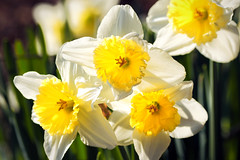 Daffodil Dance (dorameulman) Tags: spring spring2018 daffodils daffodil flowers floral macro sigma105mmf28exdgmacroos canon7dmark11 canon inmybackyard northcarolina gastonia haiku dorameulman landscape march