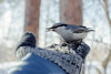 Time to eat (anton_frolov) Tags: bird winter russia siberia tomsk sony sonya6000 feed eat glove snow forest tree beautiful bokeh