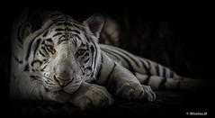Face de lune... (Pilouchy) Tags: face lune blanc calme felin eyes yeux wild regard chemin nature free life vie color couleur blackandwhite vestiges tigre portrait animal