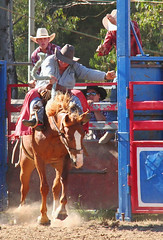 a fighting chance (tom.edwards1974) Tags: rodeo myrtleford victoria australia bronc bronco horse cowboy man summer color colour athlete sport myth