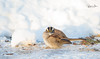 whitethroated_sparrow-4895 (Rajesh Photo) Tags: whitethroatedsparrow plumisland birdphotography bird winter newenglandwinter newengland