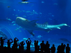 Though she will not remember (imnOthere0) Tags: okinawa aquarium churaumi japan whale shark fish silhouette people amazing 美ら海水族館