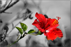 Hibiscus Select (PaulO Classic. ©) Tags: ssc hibiscus selective canon eos450d capetown picmonkey