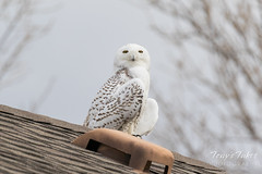 Snowy Owl hanging out