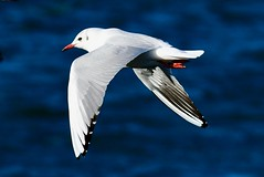 Black headed Gull - Taken at Sywell Country Park, Sywell, Northamptonshire. UK (Ian J Hicks) Tags: