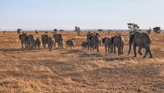 Returning Home (AnyMotion) Tags: africanelephant afrikanischerelefant loxodontaafricana elephants elefanten savannah savanne 2015 anymotion serengetinationalpark tanzania tansania africa afrika travel reisen animal animals tiere nature natur wildlife 6d canoneos6d landscape landschaft landschaftsaufnahmen