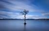 That tree. Again. (malcolmmartin1211) Tags: lochlomond milarrochybay lonetree
