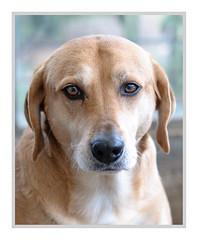 Charlie (GeorgKazrath) Tags: charliehund charlie canon canon5dmark3 canonef135mm20 portrait dogportrait hundeportrait dog