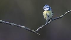Pimpelmees - Blue Tit (Wim Boon (wimzilver)) Tags: wimboon alblasserwaard canon300mmf4lis14ex canoneos80d vogelhut pimpelmees bird nature natuur holland netherlands nederland