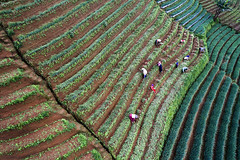 Farmers working in Onion Field_aerial_DJI_0027 (PRADEEP RAJA K- https://www.pradeeprajaphotos.com/) Tags: indonesia landscape nature java view westjava green agriculture plant plantation beautiful aerialview onion farm field farmer farming pattern farmland natural food fresh indonesialandscape vegetable outdoor garden mountain travel organic hill terrace land asia background valley row growth leaf grow morning season shallot aerial tree hut fields healthy rural countryside aeriallandscape argapura majalengka mount east west asian terraced spring scenic scenery people technology traditional water onionfarmer blue grass harvest tourism soil island foggy