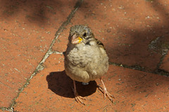 IMG_5535 (Lightcatcher66) Tags: spatzensparrows florafauna makros lightcatcher66