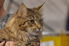 gatti.agr18 (14) (Guido.C.) Tags: gatti cat