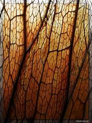 A dragonfly's wing ??? (Explored February 24th, 2018) (Badenfocus_Thanks for 930k views) Tags: blatt leaf licht light badenfocus fujifilmx20 botanischergartenberlin berlin explore explored entdecken inexplore
