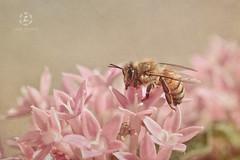 Honey Bee (Zara Calista) Tags: bee honey texture flower nikon
