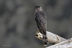 Don't Look back - Copper's Hawk Style (Chantal Jacques Photography) Tags: coopershawk wildandfree bokeh dontlookback nobait