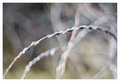 Buds (leo.roos) Tags: buds knoppen twoudt middendelfland a7rii meyerprimoplan5819 exakta 1954 darosa leoroos