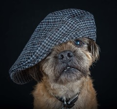 Rapper Alf (Chris Willis 10) Tags: dogsstudiohatscarf dog pets animal canine blackcolor cute purebreddog looking domesticanimals portrait puppy friendship studioshot blackbackground mammal closeup oneanimal dark brown animalhead dogs hat funny smile