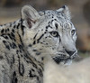 Marai (greekgal.esm) Tags: snowleopard pantherauncia leopard bigcat cat feline animal mammal carnivore cub babyanimal marai losangeleszoo lazoo losangeles griffithpark sony rx10m3 rx10iii