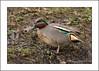 Teal (Anas crecca) (prendergasttony) Tags: anascrecca teal rspb duck wildlife avian pennington countrypark nikon d7200 tonyprendergast england lancashire
