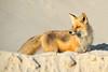 Red Fox on Beach (Brian E Kushner) Tags: yellow redfox red fox mammal vulpesvulpes island beach state park islandbeachstatepark berkeley nj new jersey nikon d4s nikond4s nature bkushner wildlife animals ©brianekushner nikon70200mmf28 70200mm f28 nikor
