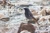 Black Redstart - male (steve happ) Tags: blackredstart olimpos olympus phoenicurusochuros turkey