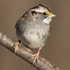 White-Throated Sparrow 1-14-2018-4 (Scott Alan McClurg) Tags: emberizidae passeri passeroidea zalbicollis zonotrichia animal back backyard bird delaware life nature naturephotography neighborhood perch perching portrait songbird sparrow suburbs whitethroated whitethroatedsparrow wild wildlife winter