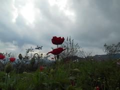Pavots (Paradiperdu) Tags: fleurs paysages nature thaïlande ciel