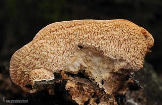 Creolophus-cirrhatus (Pers.) P. Karst (himenio) ( posibilidad)