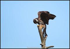 Faucon hobereau (fauneetnature) Tags: faune falcon faucon fauconhobereau animalier animaux animals animal lacdubourget savoie oiseaux ornithology ornithologie oiseau