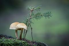 Zen Forest (Janette Paltian) Tags: janettepaltian canon 650d 100mm makro macro focusstacking stacking zen bonsai mushroom pilz pilze mushrooms autumn herbst chemnitz germany deutschland green grün nature natur dof depthoffield tiefenschärfe bokeh wald forest