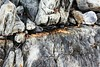 quartz vein orthogonal to cleavage showing ptygmatic folding and vertical fold hinges (peterwallace2) Tags: swnova cambrian schist