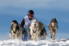 Sled dog race (My Planet Experience) Tags: siberian husky huskies alaskan team dog animal nordic sled snow retordica race racing running musher mushing pulka pulk sledge sleigh white winter alaska yukon siberia myplanetexperience wwwmyplanetexperiencecom